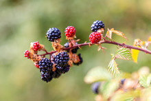 Wild Blackberries In The Meadows Of The Mountains Of Madrid, Spain