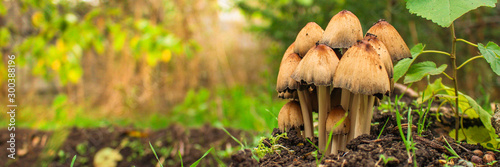 mushrooms in the meadow (forest, edible or inedible species of mushroom) concept Fototapet