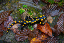 Fire Salamander Or Salamandra ...