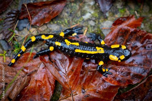 Photo fire salamander or Salamandra salamandra