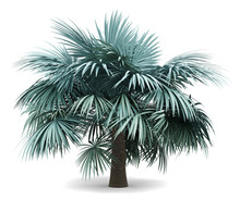 Silver Fan Palm Tree Isolated ...