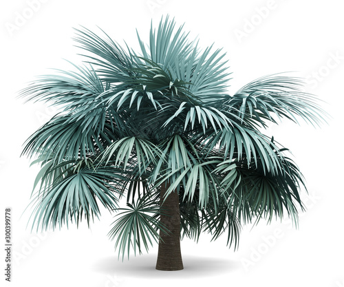 silver fan palm tree isolated on white background Wall mural
