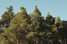 Top Of The Pine Trees Against ...