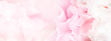 Banner For Website With Closeup View Of Pink Eustoma Flower. Soft Pastel Wedding Background.