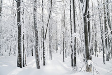 Snow-covered Trees In Forest In Winter. Copy Psace.