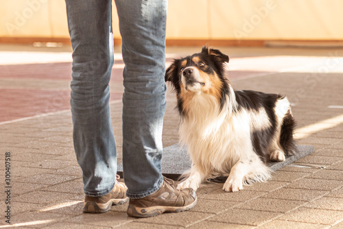 Good attentive Border Collie dog works together with his owner Wallpaper Mural