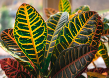 Potted Croton Plant Leaves In Sunlight