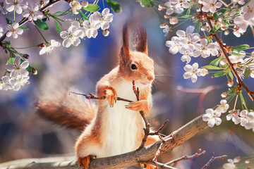 portrait animal funny cute redhead squirrel stands on tree blooming white cherry buds in may Sunny garden