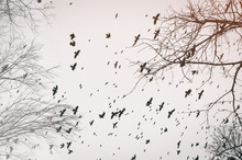 Birds In Fly Over Trees Whitho...