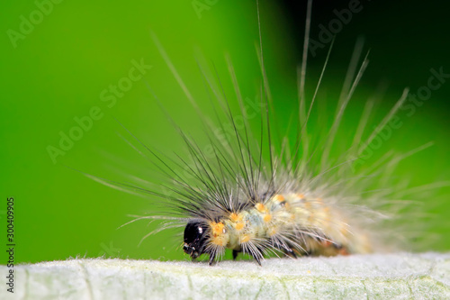 Fotomural  caterpillar on green leaf