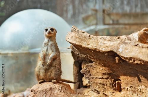 Small, beautiful meerkat Tablou Canvas