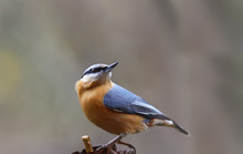 Nuthatch Examines The Surround...