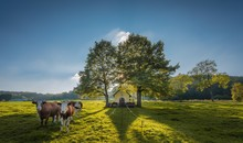 Wooden Cottage Between Two Trees On A Grassy Field With Cows