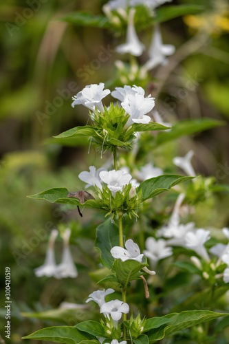 Small white trumpet flowers - Florida