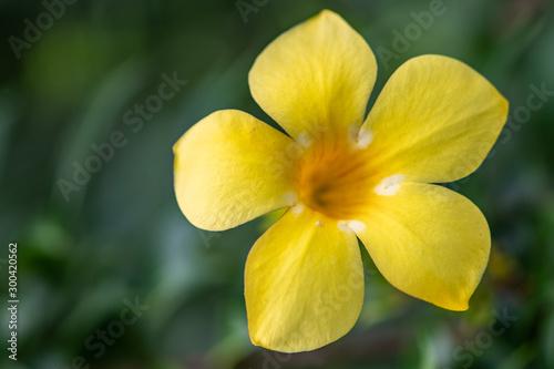 Allamandas in full bloom - Florida