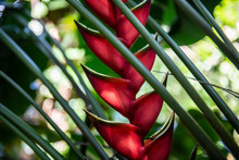 Red Heliconia Flower Along The Hana Highway