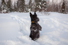 Scottish Terrier Is Posing In ...