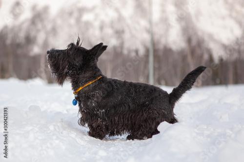 Obraz Scottish terrier is posing in a snow - fototapety do salonu