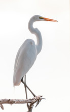 Great White Egret Perched High...
