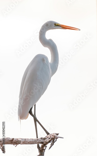 Great white egret perched high in a tree Canvas Print