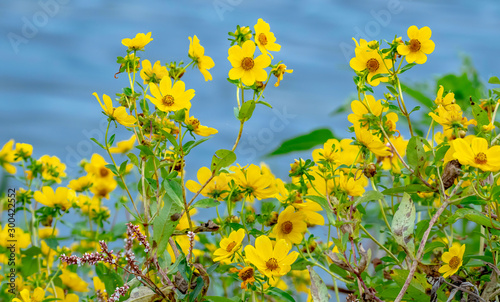 Yellow wild flowers growing on the bank of the Gulf of Mexico