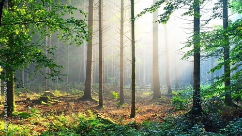 Pinturas sobre lienzo  Overgrown green forest in fog with sun rays. Osnabruck, Germany