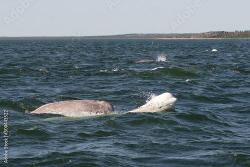Canvastavla beluga whales in the churchill river estuary