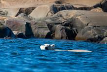 Swimming Polar Bear In Norther...