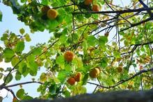 Orange Persimmon Kaki Fruits G...