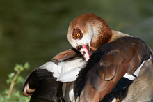 Egyptian Goose Cleaning Feathers Near Water.