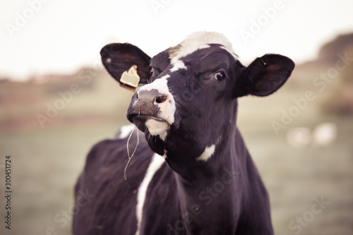 portrait of a cow Canvas Print
