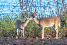 Family Of Wild White Tailed Deer By The Edge Of A Lake - Florida