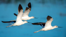 American Avocets Flying Over A Pond