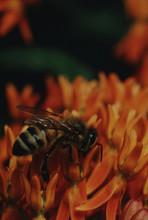 Honey Bee On Butterfly Weed Wildflower