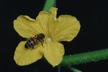 Honey Bee On Cucumber Bloom
