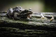 Closeup Shot Of An Oak Toad On...