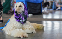Russian Borzoi Dog Sitting On ...