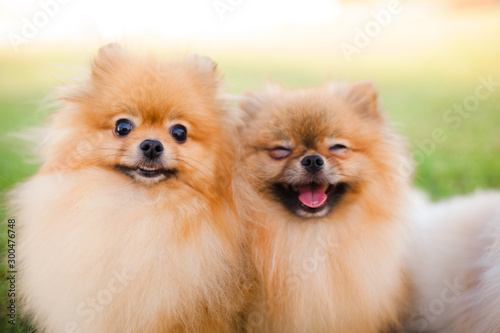 Valokuva two Zverg Spitz Pomeranian puppies posing on grass