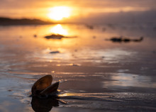 Shell Reflecting The Light At Sunrise On West Wittering Beach, West Sussex, UK