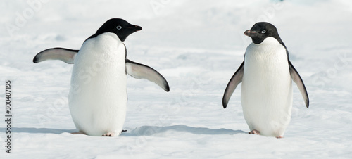 Spoed Fotobehang Pinguin Antarctic Adelie penguins