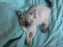 Siberian Kitten With Blue Eyes