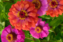Pink And Red Zinnia Flowers (Z...