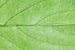 canvas print picture - Green leaf veins texture. Natural enviroment vibrant pattern background.