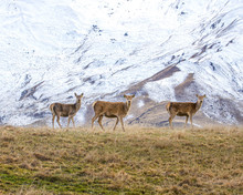 Wild Deer Andsnowy Mountains