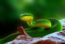 Green Insularis Pit Viper Snake