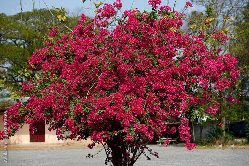Платно Sakura or cherry blossom tree in sunlight