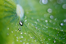 The Lotus Leaf Is Covered With Sparkling Water Drops