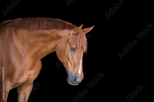Chestnut Horse on Black Background