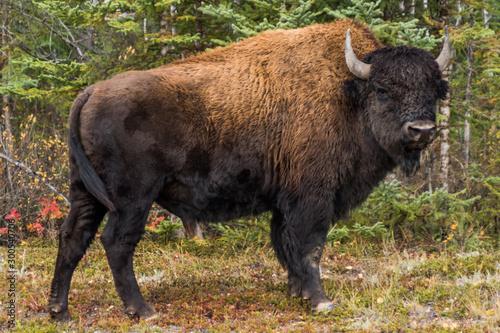 Aluminium Prints Bison カナダ ウッドバッファロー国立公園の野牛 Wood Buffalo National Park