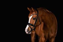 Chestnut Horse On Black Backgr...